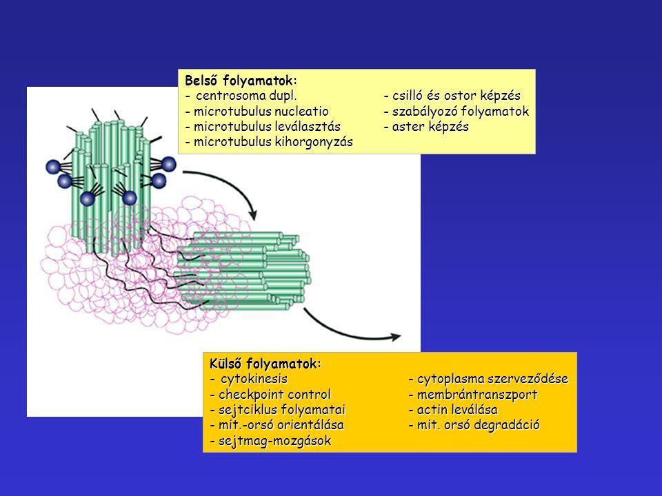 Belső folyamatok: - centrosoma dupl.- csilló és ostor képzés - microtubulus nucleatio- szabályozó folyamatok - microtubulus leválasztás - aster képzés