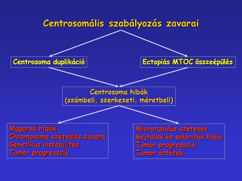 Centrosomális szabályozás zavarai Centrosoma duplikáció Ectopiás MTOC összeépülés Centrosoma hibák (számbeli, szerkezeti, méretbeli) Magorsó hibák Chr