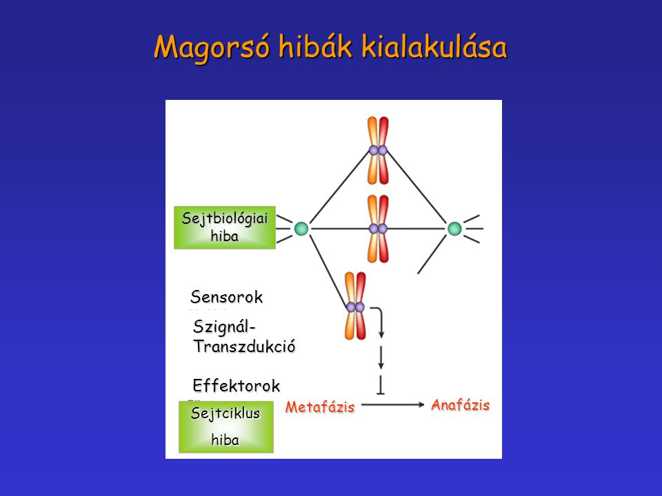 Sejtbiológiaihiba Sensorok Szignál-TranszdukcióEffektorok Sejtciklushiba Metafázis Anafázis Magorsó hibák kialakulása