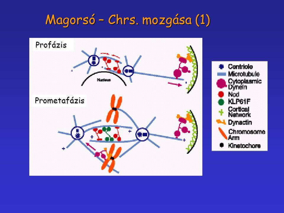 Profázis Prometafázis Magorsó – Chrs. mozgása (1)