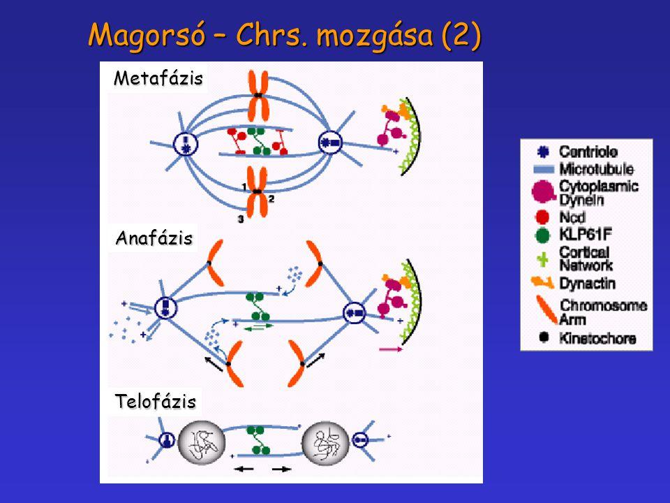 Metafázis Anafázis Telofázis Magorsó – Chrs. mozgása (2)