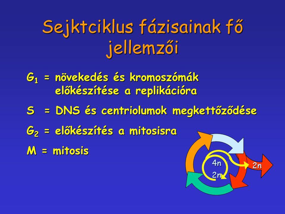 Sejktciklus fázisainak fő jellemzői G 1 = növekedés és kromoszómák előkészítése a replikációra S = DNS és centriolumok megkettőződése G 2 = előkészíté