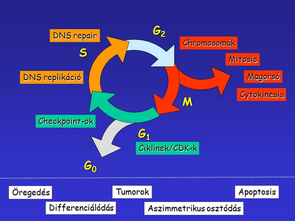 S G2G2G2G2 G1G1G1G1 M G0G0G0G0 DNS replikáció DNS repair Ciklinek/CDK-k Checkpoint-ok Chromosomák Mitosis Magorsó Cytokinesis Öregedés Differenciálódá