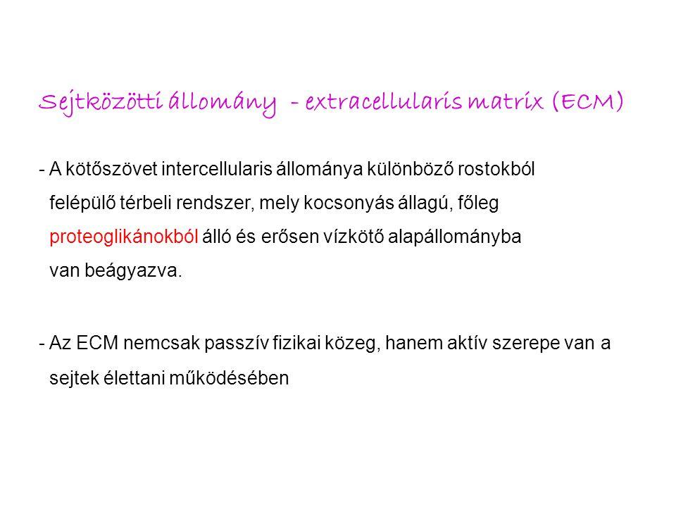 Sejtközötti állomány - extracellularis matrix ECM 1.