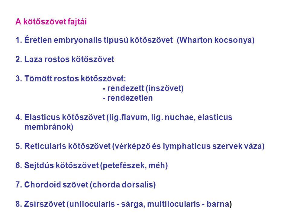 A kötőszövet fajtái 1.Éretlen embryonalis típusú kötőszövet (Wharton kocsonya) 2.
