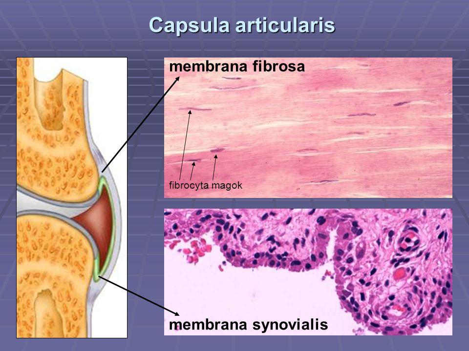 Capsula articularis membrana fibrosa fibrocyta magok membrana synovialis