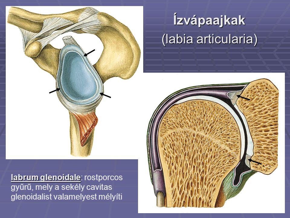 Ízvápaajkak (labia articularia) labrum glenoidale labrum glenoidale: rostporcos gyűrű, mely a sekély cavitas glenoidalist valamelyest mélyíti