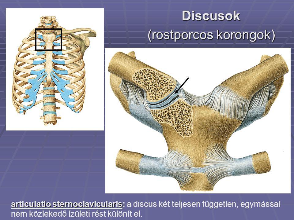 Discusok (rostporcos korongok) articulatio sternoclavicularis articulatio sternoclavicularis: a discus két teljesen független, egymással nem közlekedő ízületi rést különít el.
