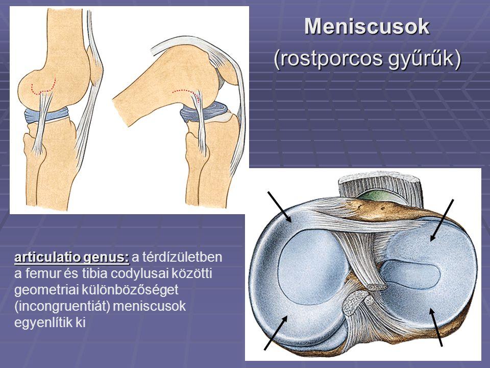 Meniscusok (rostporcos gyűrűk) articulatio genus: articulatio genus: a térdízületben a femur és tibia codylusai közötti geometriai különbözőséget (incongruentiát) meniscusok egyenlítik ki