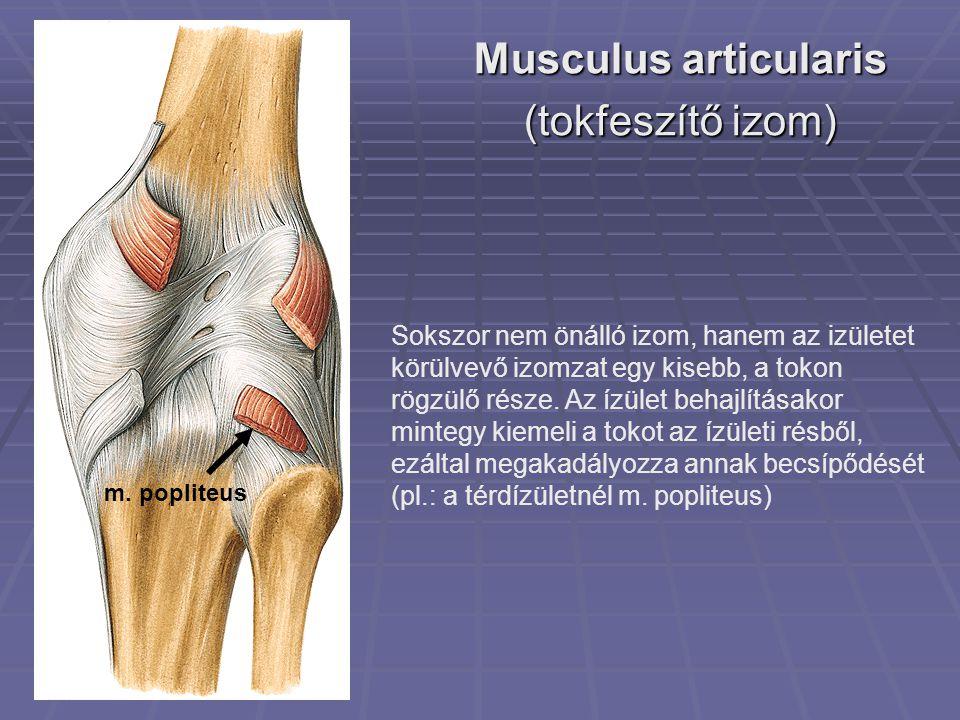 Musculus articularis (tokfeszítő izom) m.