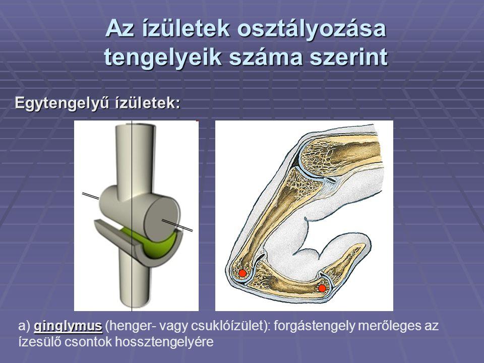 Az ízületek osztályozása tengelyeik száma szerint Egytengelyű ízületek: ginglymus a) ginglymus (henger- vagy csuklóízület): forgástengely merőleges az ízesülő csontok hossztengelyére