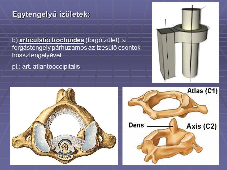 Egytengelyű ízületek: articulatio trochoidea b) articulatio trochoidea (forgóízület): a forgástengely párhuzamos az ízesülő csontok hossztengelyével pl.: art.
