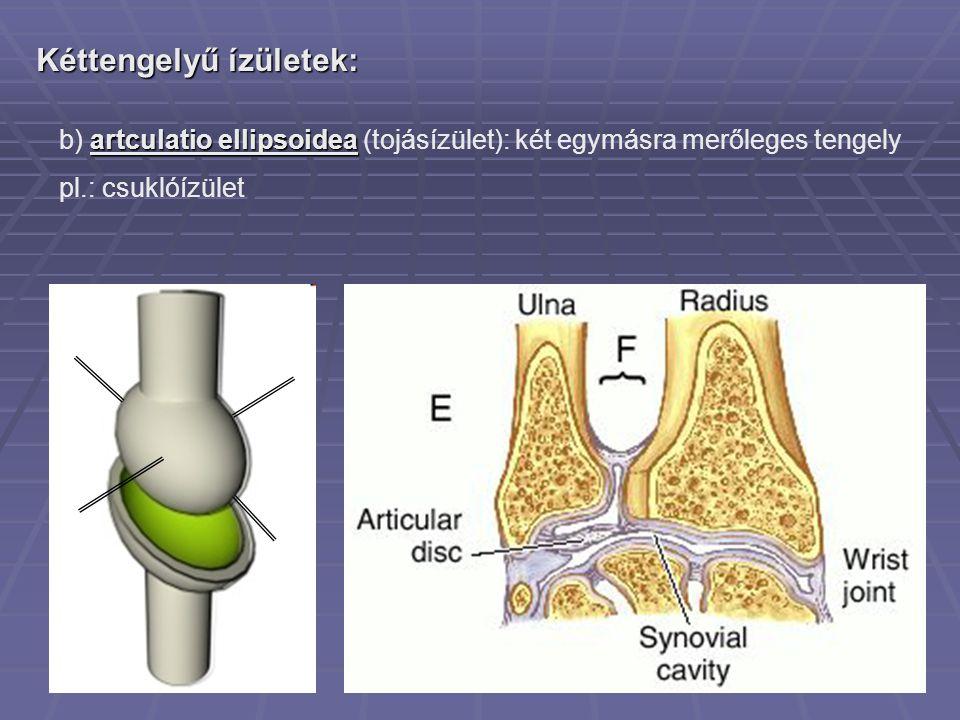 Kéttengelyű ízületek: artculatio ellipsoidea b) artculatio ellipsoidea (tojásízület): két egymásra merőleges tengely pl.: csuklóízület