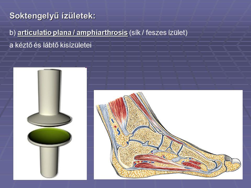 Soktengelyű ízületek: articulatio plana / amphiarthrosis b) articulatio plana / amphiarthrosis (sík / feszes ízület) a kéztő és lábtő kisízületei