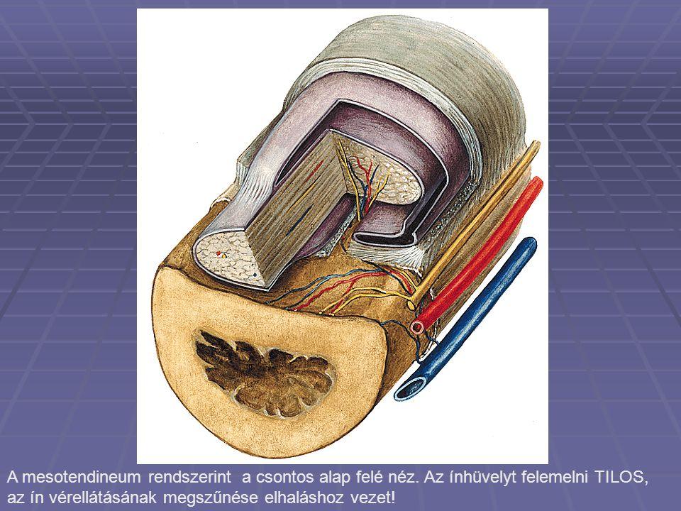 A mesotendineum rendszerint a csontos alap felé néz.