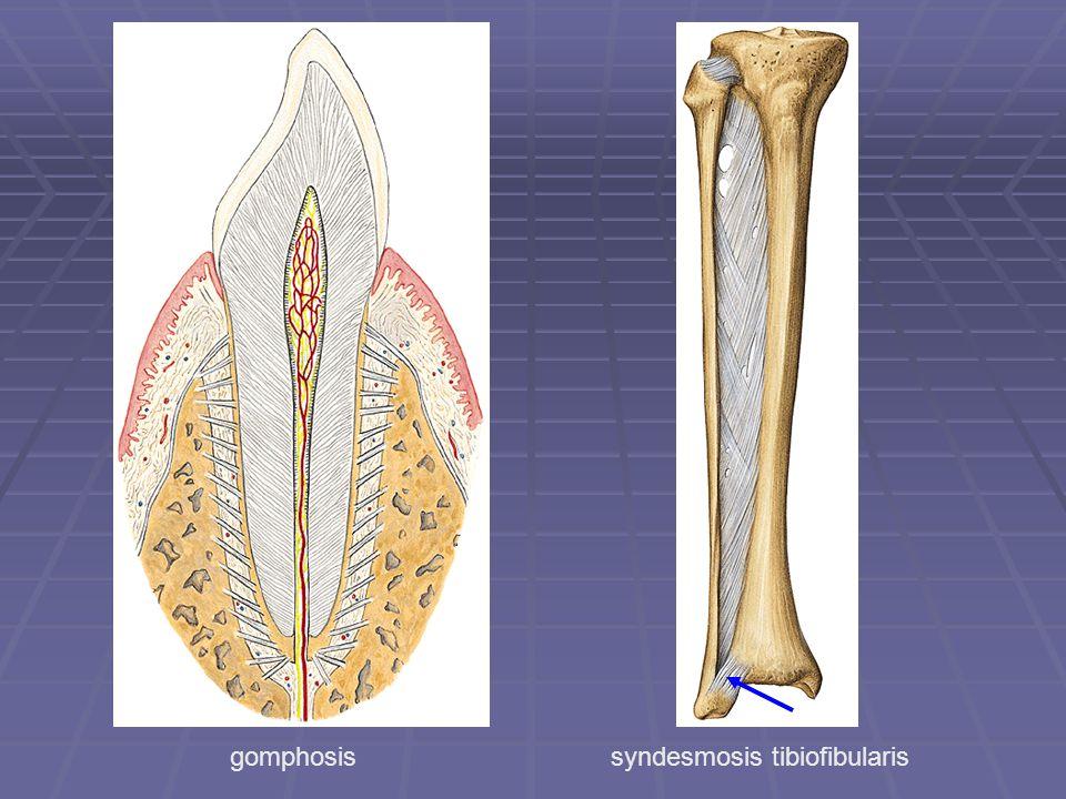 syndesmosis tibiofibularisgomphosis