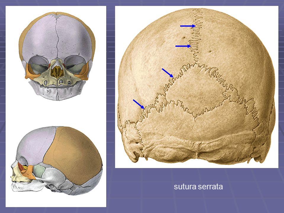sutura serrata