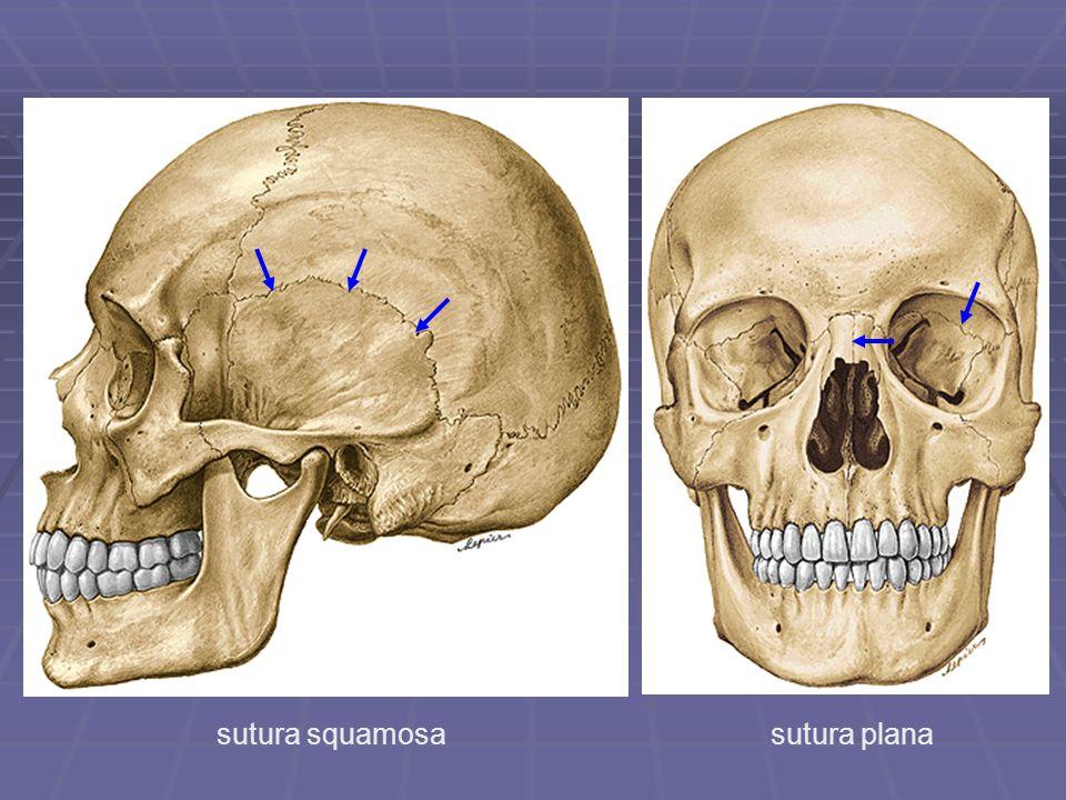 sutura squamosasutura plana