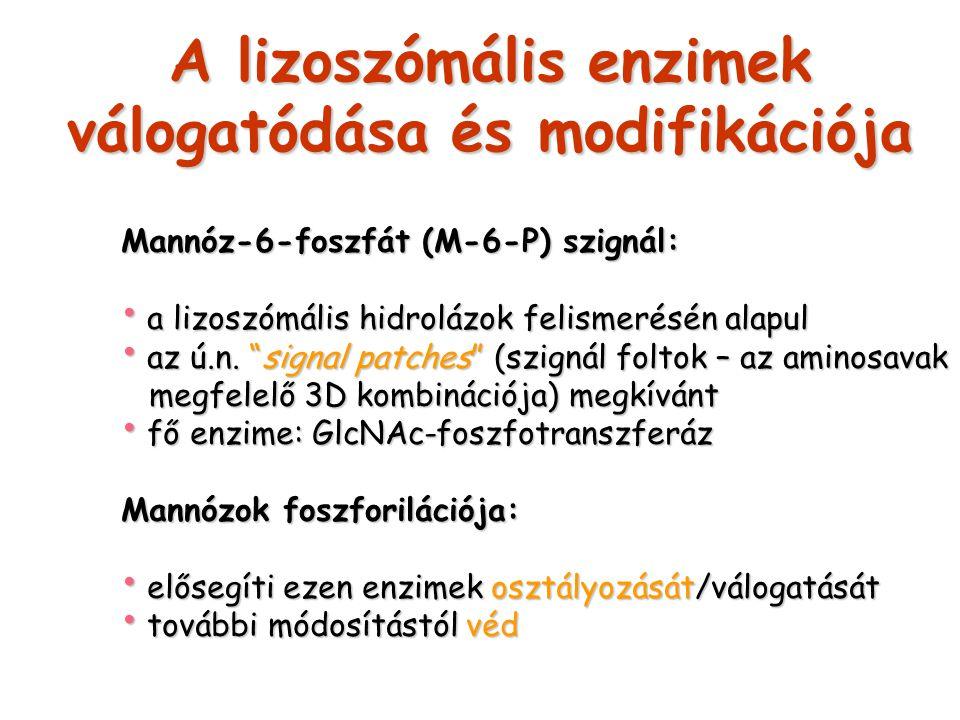 A lizoszómális enzimek válogatódása és modifikációja Mannóz-6-foszfát (M-6-P) szignál: a lizoszómális hidrolázok felismerésén alapul a lizoszómális hi