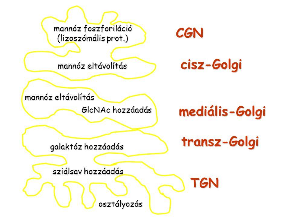 mannóz foszforiláció (lizoszómális prot.) mannóz eltávolítás galaktóz hozzáadás sziálsav hozzáadás GlcNAc hozzáadás osztályozás CGN cisz-Golgi mediáli