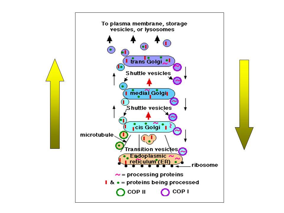 endoszomális-lizoszomális compartment endoszomális-lizoszomális compartment transzport vezikulumok - M-6-P receptorok felszíni membrán - szekréció felszíni membrán - szekréció konstitutív szekréció – a felszíni membrán és az ECM lipid és peptid komponenseinek transzportja exocitózis exocitózis regulált szekréció