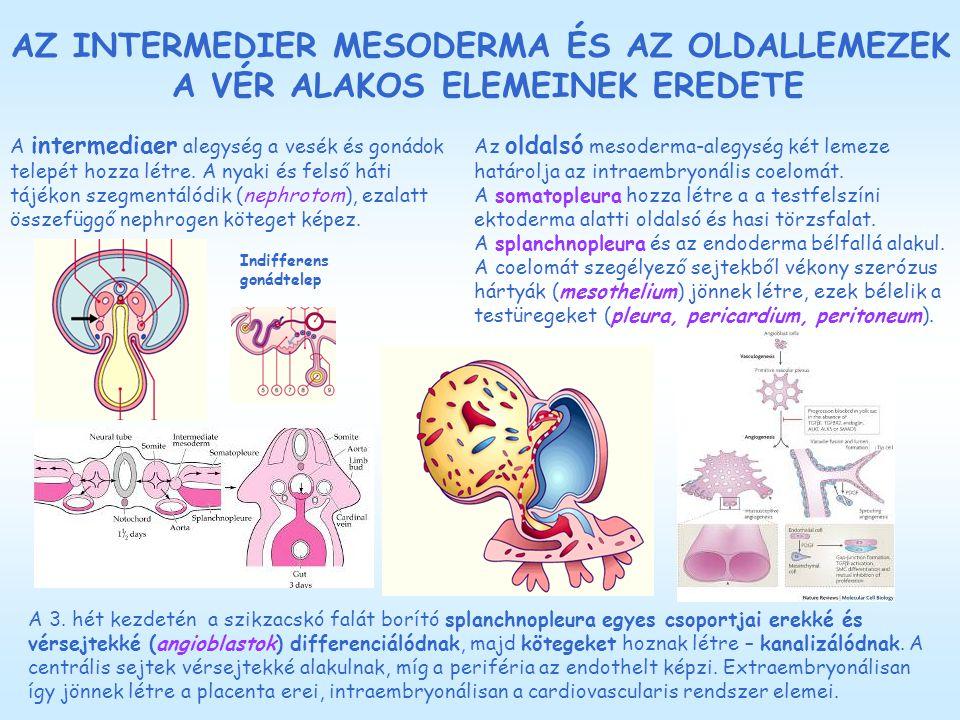 AZ INTERMEDIER MESODERMA ÉS AZ OLDALLEMEZEK A VÉR ALAKOS ELEMEINEK EREDETE A intermediaer alegység a vesék és gonádok telepét hozza létre. A nyaki és