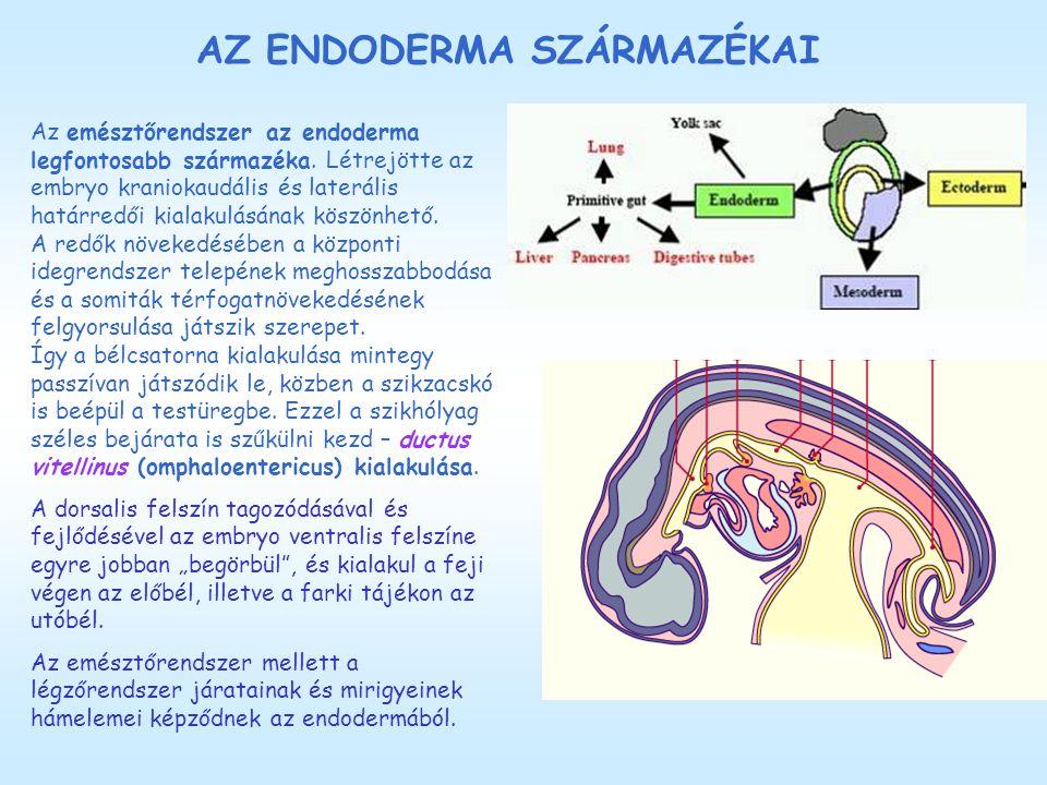AZ ENDODERMA SZÁRMAZÉKAI Az emésztőrendszer az endoderma legfontosabb származéka. Létrejötte az embryo kraniokaudális és laterális határredői kialakul