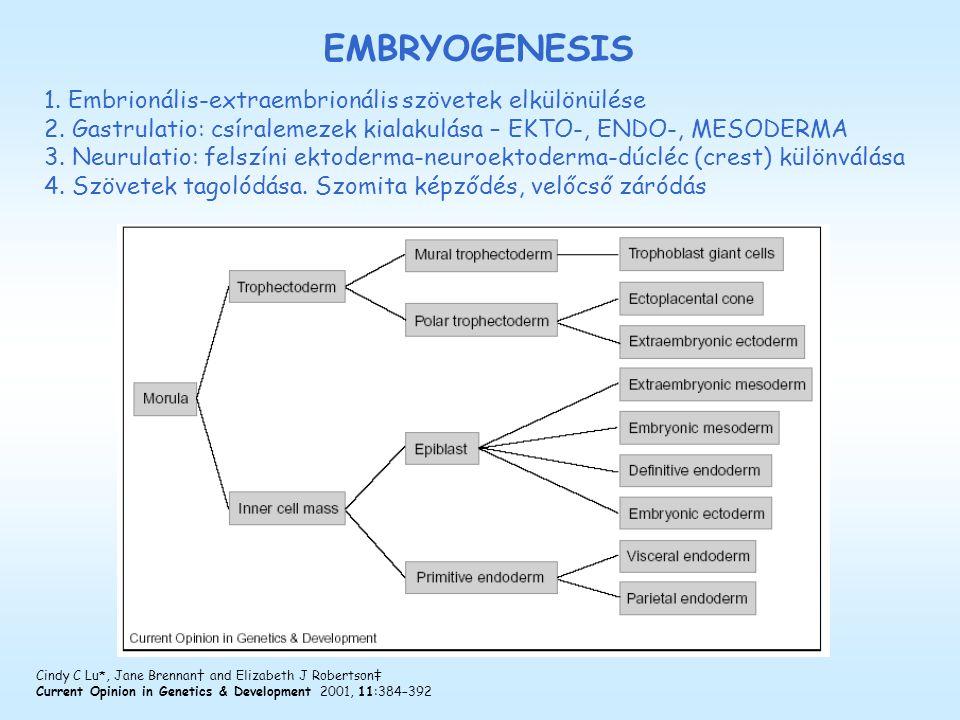 1. Embrionális-extraembrionális szövetek elkülönülése 2. Gastrulatio: csíralemezek kialakulása – EKTO-, ENDO-, MESODERMA 3. Neurulatio: felszíni ektod