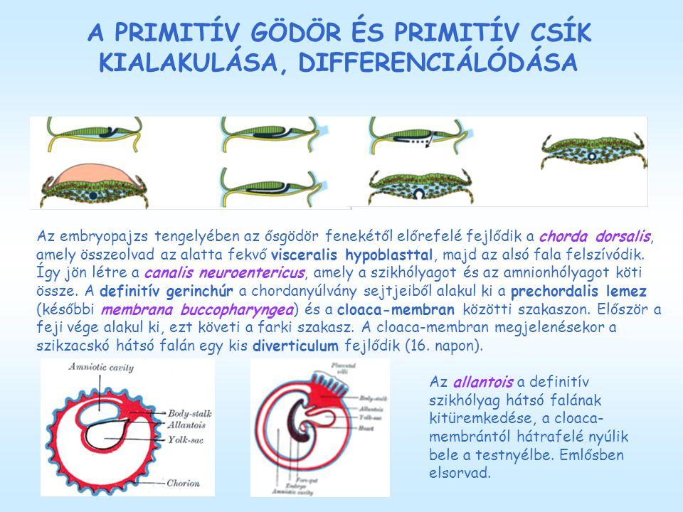 A PRIMITÍV GÖDÖR ÉS PRIMITÍV CSÍK KIALAKULÁSA, DIFFERENCIÁLÓDÁSA Az embryopajzs tengelyében az ősgödör fenekétől előrefelé fejlődik a chorda dorsalis, amely összeolvad az alatta fekvő visceralis hypoblasttal, majd az alsó fala felszívódik.