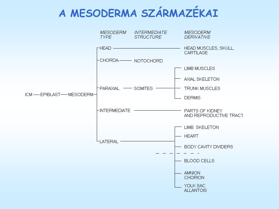 A MESODERMA DIFFERENCIÁLÓDÁSA A 17.