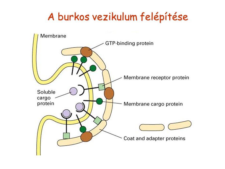 A burkos vezikulum felépítése