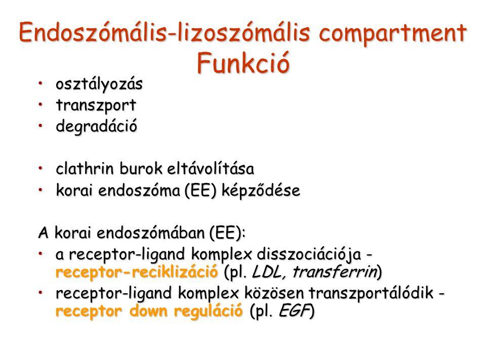 Endoszómális-lizoszómális compartment Funkció osztályozásosztályozás transzporttranszport degradációdegradáció clathrin burok eltávolításaclathrin bur