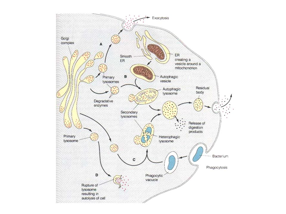 Dynamin kimutatása a sejtben