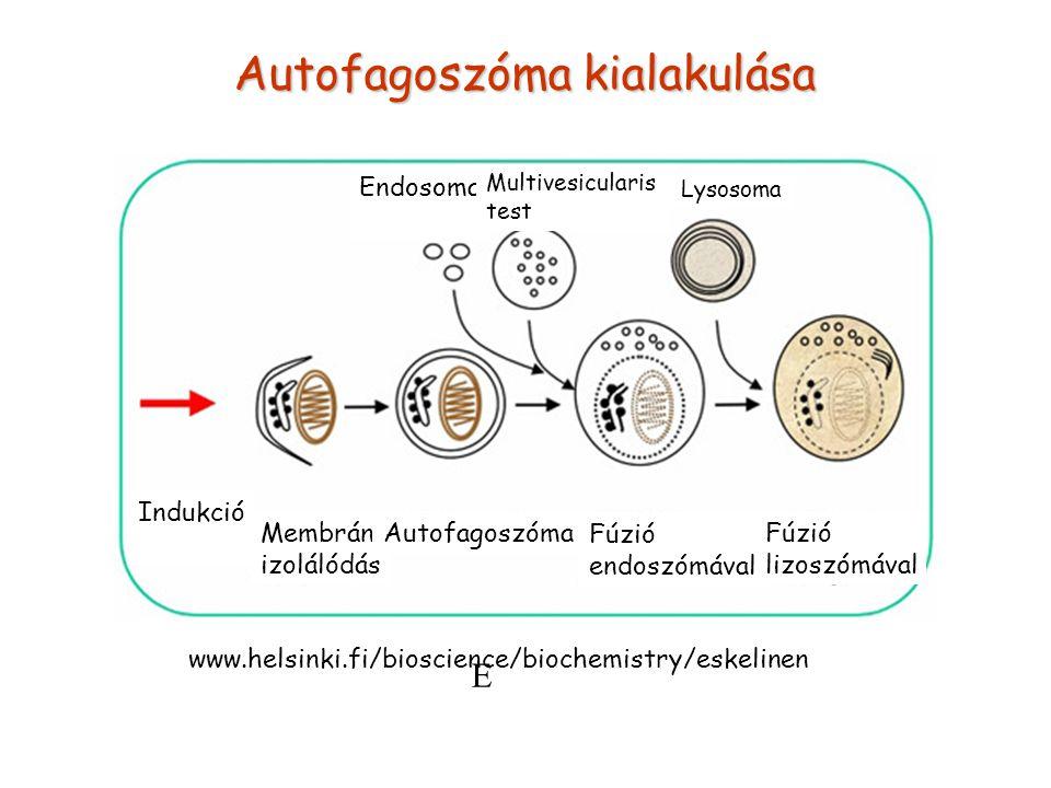 Indukció Membrán izolálódás Autofagoszóma Fúzió endoszómával Fúzió lizoszómával E Endosoma Multivesicularis test Lysosoma Autofagoszóma kialakulása ww