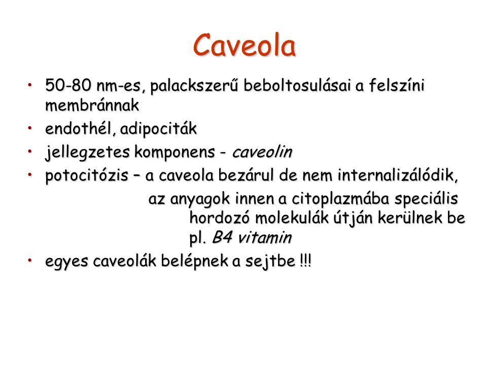 Caveola 50-80 nm-es, palackszerű beboltosulásai a felszíni membránnak50-80 nm-es, palackszerű beboltosulásai a felszíni membránnak endothél, adipocitákendothél, adipociták jellegzetes komponens - caveolinjellegzetes komponens - caveolin potocitózis – a caveola bezárul de nem internalizálódik,potocitózis – a caveola bezárul de nem internalizálódik, az anyagok innen a citoplazmába speciális hordozó molekulák útján kerülnek be pl.