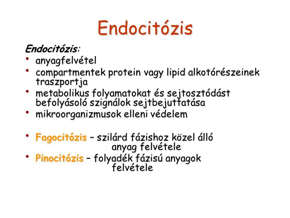 Endocitózis Endocitózis: anyagfelvétel anyagfelvétel compartmentek protein vagy lipid alkotórészeinek traszportja compartmentek protein vagy lipid alkotórészeinek traszportja metabolikus folyamatokat és sejtosztódást befolyásoló szignálok sejtbejuttatása metabolikus folyamatokat és sejtosztódást befolyásoló szignálok sejtbejuttatása mikroorganizmusok elleni védelem mikroorganizmusok elleni védelem Fagocitózis – szilárd fázishoz közel álló anyag felvétele Fagocitózis – szilárd fázishoz közel álló anyag felvétele Pinocitózis – folyadék fázisú anyagok felvétele Pinocitózis – folyadék fázisú anyagok felvétele