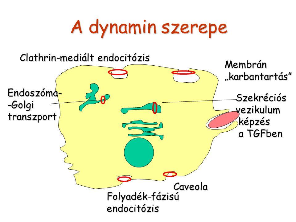 """A dynamin szerepe Folyadék-fázisúendocitózis Caveola Membrán""""karbantartás Clathrin-mediált endocitózis Endoszóma--Golgitranszport Szekréciósvezikulum képzés képzés a TGFben a TGFben"""