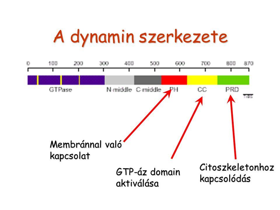 A dynamin szerkezete Membránnal való kapcsolat GTP-áz domain aktiválása Citoszkeletonhozkapcsolódás