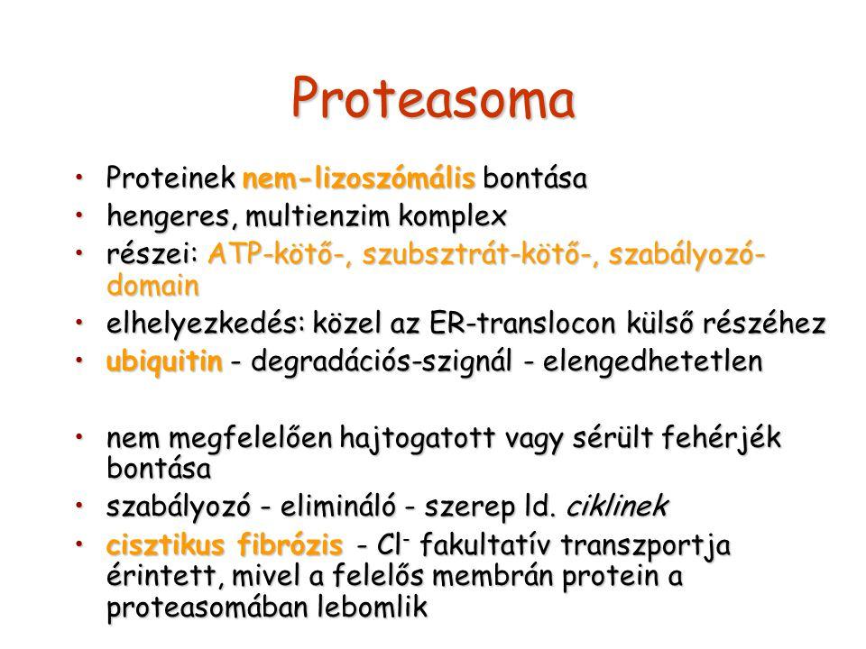 Proteasoma Proteinek nem-lizoszómális bontásaProteinek nem-lizoszómális bontása hengeres, multienzim komplexhengeres, multienzim komplex részei: ATP-k