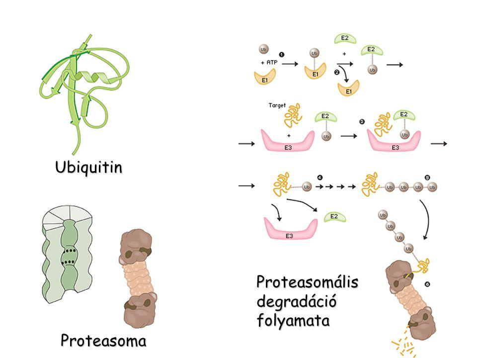Ubiquitin Proteasoma Proteasomálisdegradációfolyamata