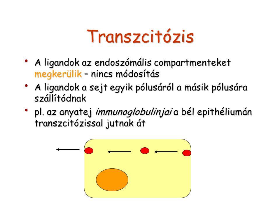 Transzcitózis A ligandok az endoszómális compartmenteket megkerülik – nincs módosítás A ligandok az endoszómális compartmenteket megkerülik – nincs mó
