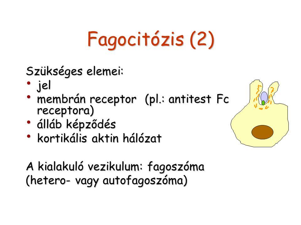 Fagocitózis (2) Szükséges elemei: jel jel membrán receptor (pl.: antitest Fc receptora) membrán receptor (pl.: antitest Fc receptora) álláb képződés á