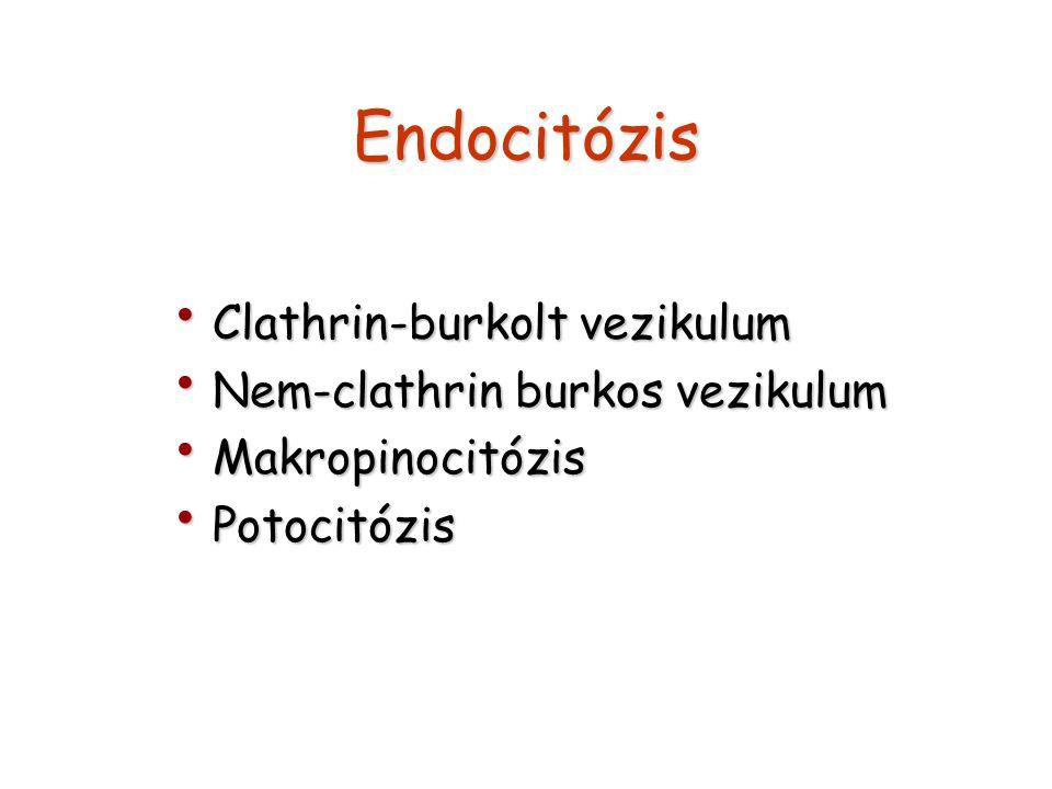 Endocitózis Clathrin-burkolt vezikulum Clathrin-burkolt vezikulum Nem-clathrin burkos vezikulum Nem-clathrin burkos vezikulum Makropinocitózis Makropi