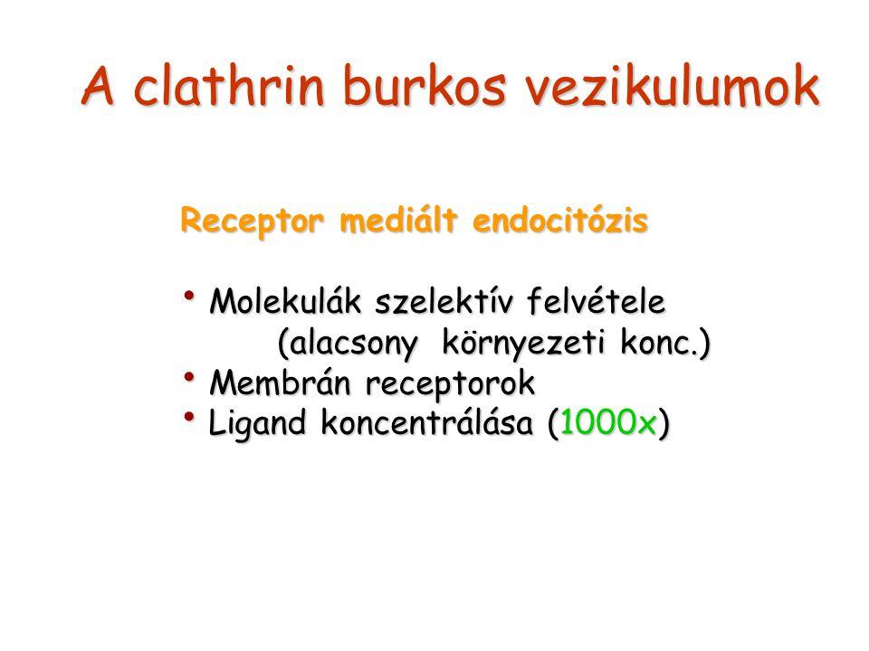 A clathrin burkos vezikulumok Receptor mediált endocitózis Molekulák szelektív felvétele Molekulák szelektív felvétele (alacsony környezeti konc.) (alacsony környezeti konc.) Membrán receptorok Membrán receptorok Ligand koncentrálása (1000x) Ligand koncentrálása (1000x)