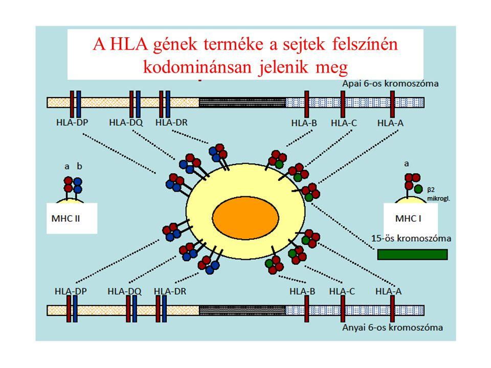 A HLA gének terméke a sejtek felszínén kodominánsan jelenik meg