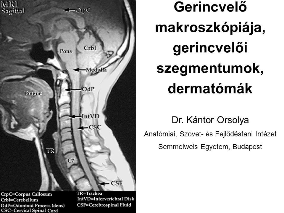 Gerincvelői szelvények Pars cervicalis: 8 cervicalis szelvény (C1-C8) Pars thoracalis: 12 thorakalis szelvény (Th 1-12) Pars lumbalis: 5 lumbalis szelvény (L1-5) Pars sacralis: 5 sacralis szelvény (S1-5) Pars coccygea: 1-3 coccygealis szelvény (Co 1-3) Gerincvelői idegek kilépése: Foramen intervertebralen C1-8: az adott nyakcsigolya felett Th 1-Co 3: az adott csigolya alatt