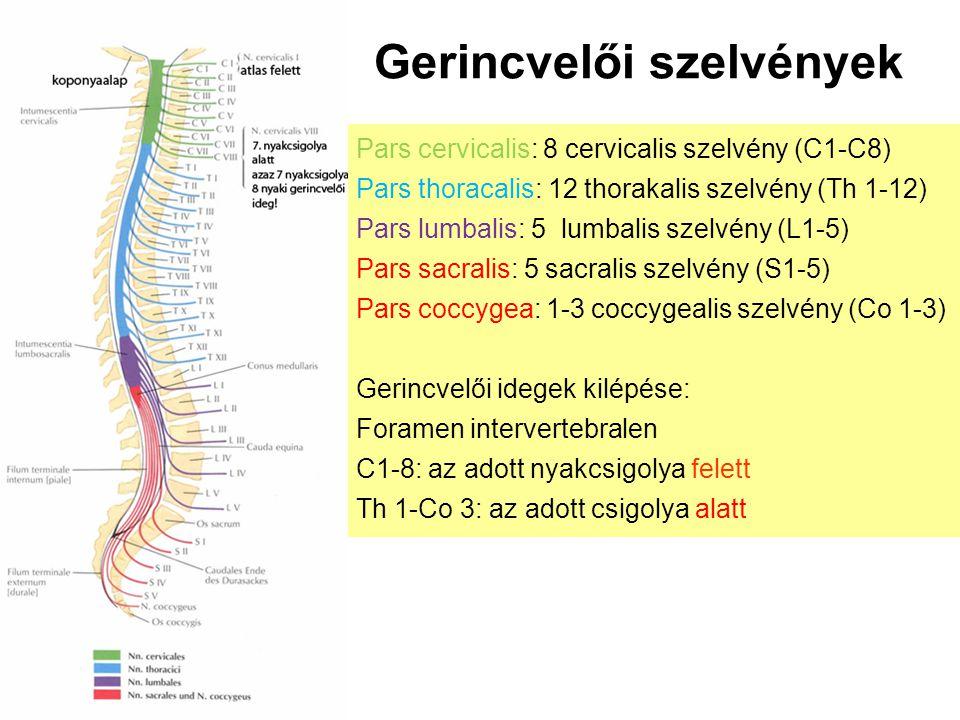Gerincvelői szelvények Pars cervicalis: 8 cervicalis szelvény (C1-C8) Pars thoracalis: 12 thorakalis szelvény (Th 1-12) Pars lumbalis: 5 lumbalis szel