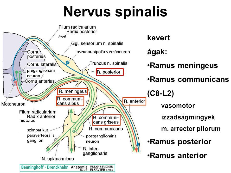 Nervus spinalis kevert ágak: Ramus meningeus Ramus communicans (C8-L2) vasomotor izzadságmirigyek m. arrector pilorum Ramus posterior Ramus anterior