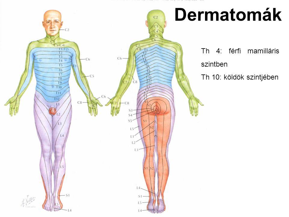 Dermatomák Th 4: férfi mamilláris szintben Th 10: köldök szintjében