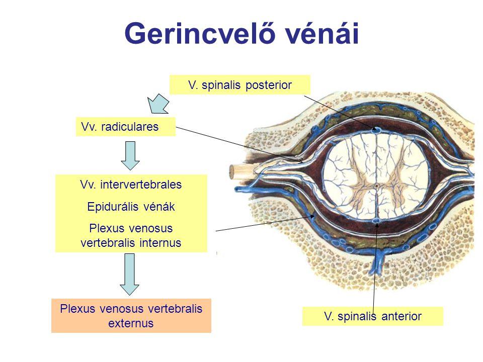 Gerincvelő vénái V. spinalis anterior Vv. intervertebrales Epidurális vénák Plexus venosus vertebralis internus Plexus venosus vertebralis externus V.
